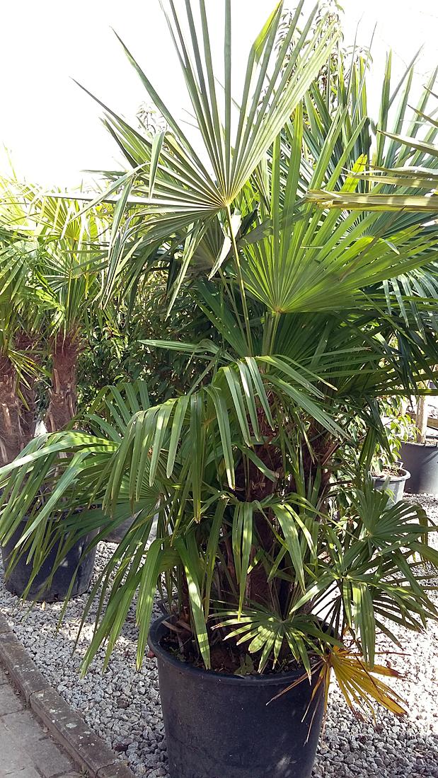 mediterrane pflanzen pflanzen vom peterhof in hanhofen. Black Bedroom Furniture Sets. Home Design Ideas